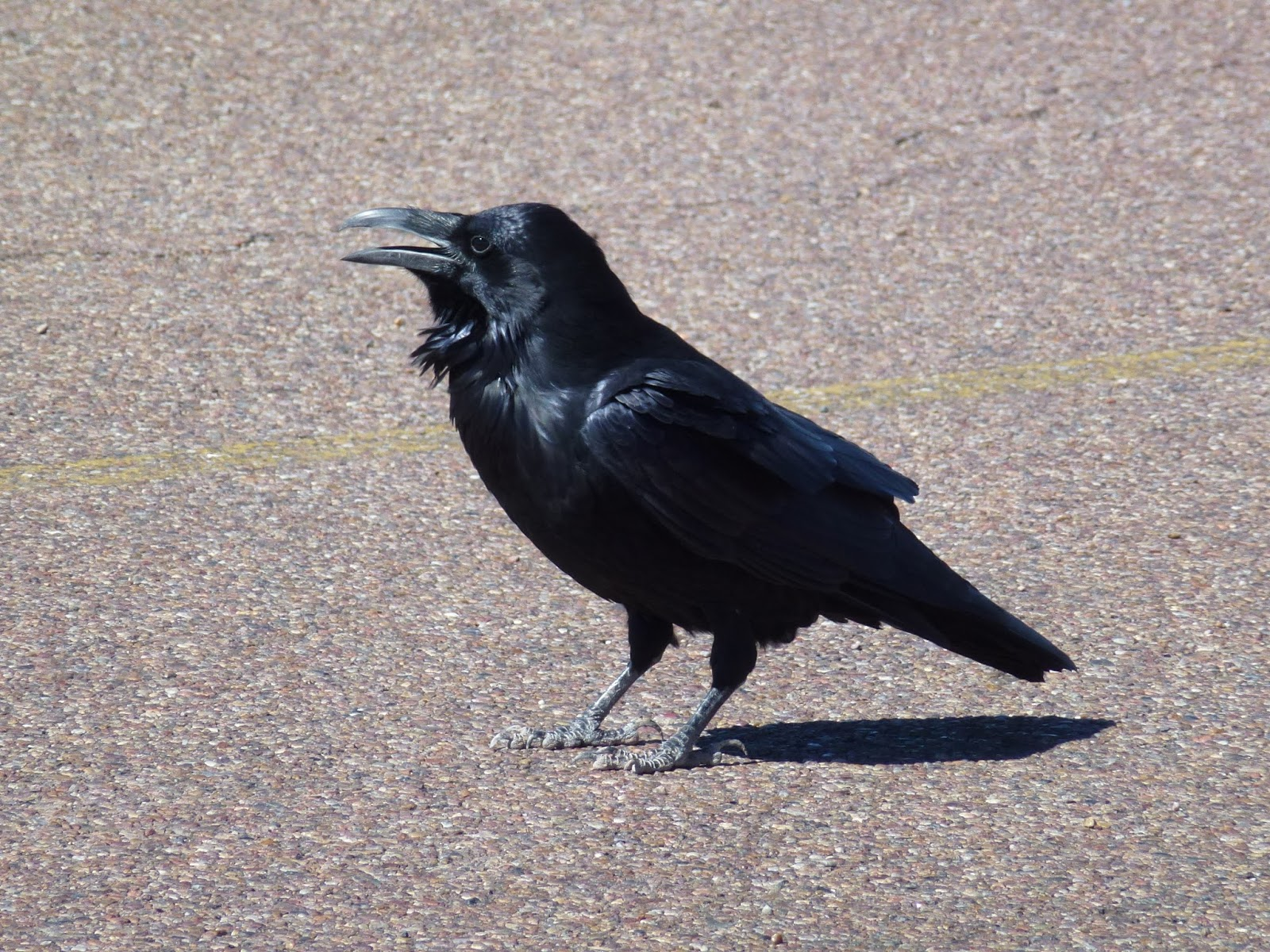 Image of a black raven bird.