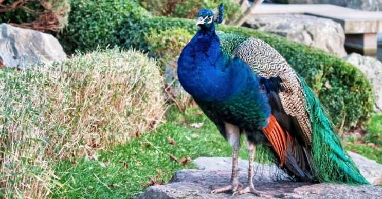 Tavus kuşları renkli görünmesine rağmen tüylerinin rengi esasında kahverengidir.