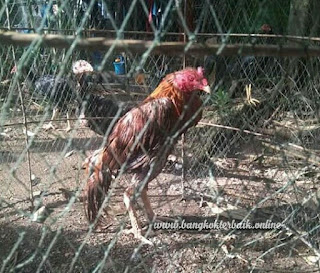 Cara ampuh mengobati ayam aduan kurang nasu makan