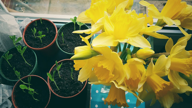 Project 366 2016 day 77 - Daffodils and sweet peas from seed // 76sunflowers