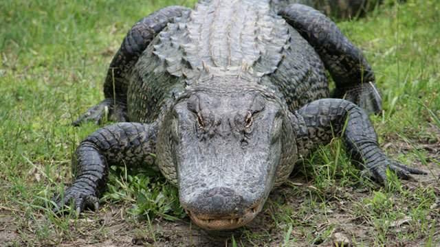 contoh binatang melata alligator