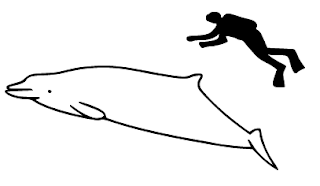 sketch comparing the size of a human and a true's beaked whale