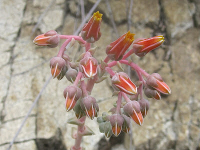 Canyon dudleya