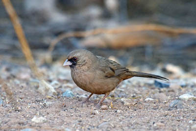 Photo of Abert's Towhee foraging on ground