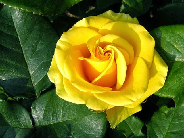 Bí mật hoa hồng vàng