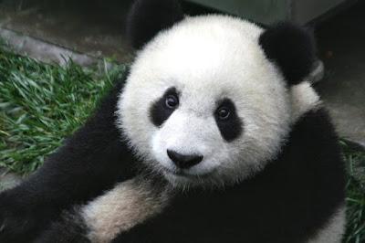 Kumpulan Wallpaper Panda yang Lucu