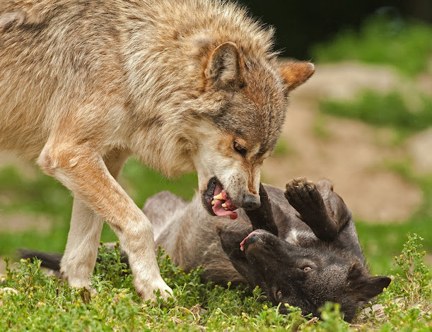 Can a wolf become a pet