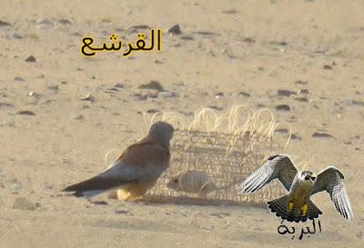قرشع لصيد الصقور -  falcon trap