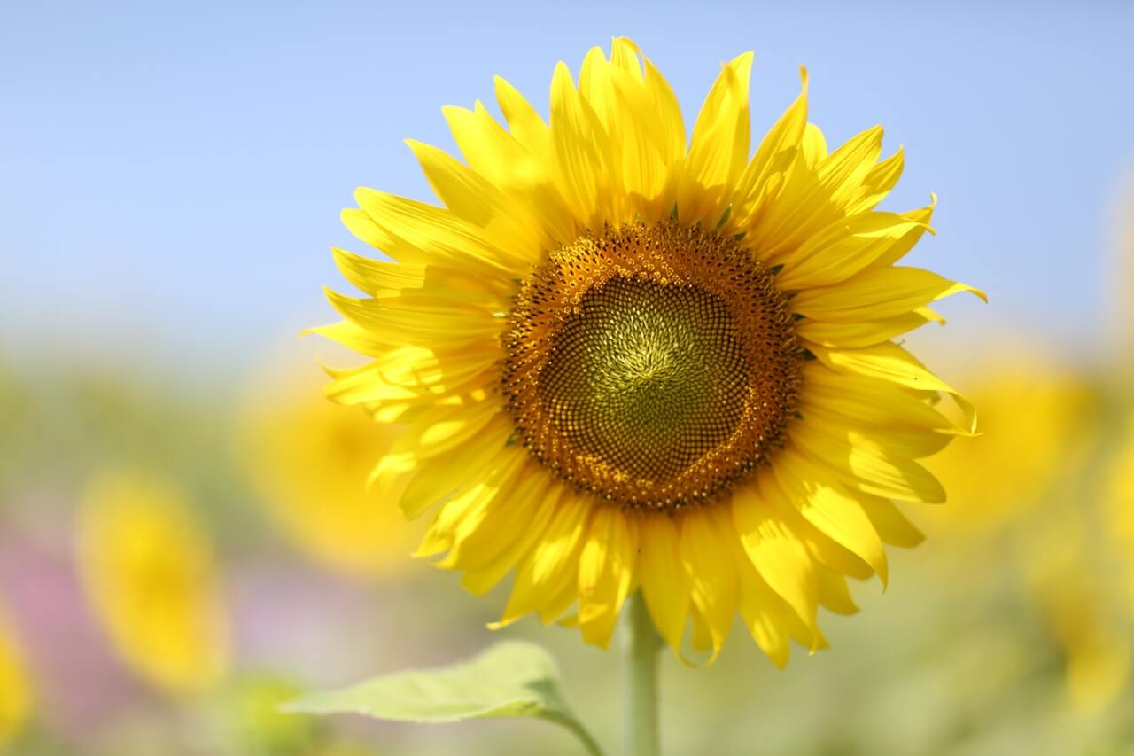 Sunflower Bloom HD Copyright Free Image
