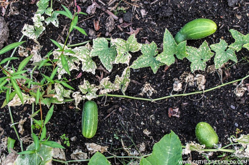 cucumbers growing in the garden | On The Creek Blog