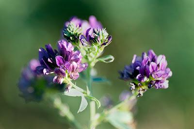 L'alfalfa