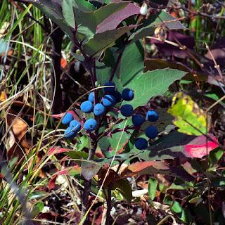 bentuk buah huckleberry