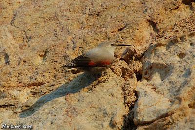 Pela-roques (Tichodroma muraria)