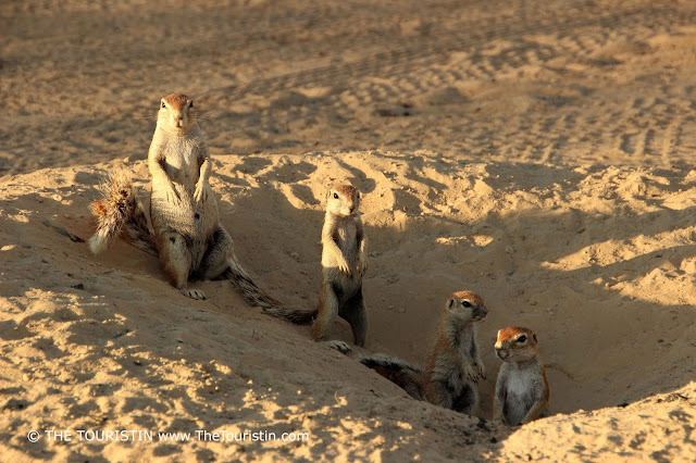 Four Ground Squirrels sitting in a sand hole in the warm evening light.