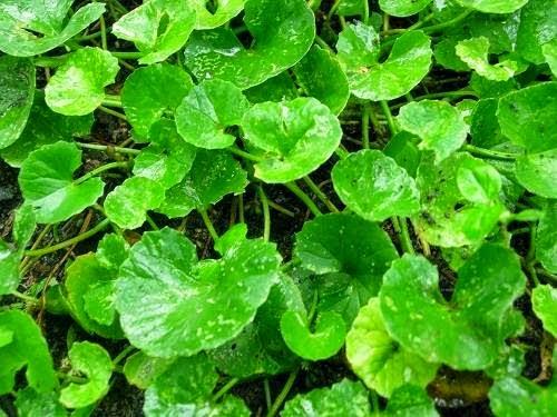 manfaat daun pegagan bagi kesehatan