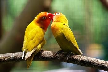 Rahasia Ciri Khusus Lovebird Jantan dan Betina Saat Birahi
