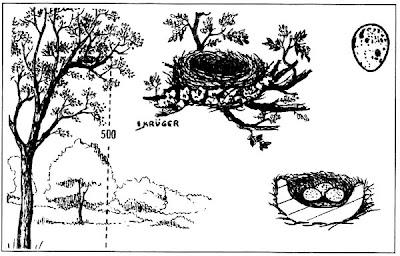 nido de Tijerilla Xenopsaris albinucha