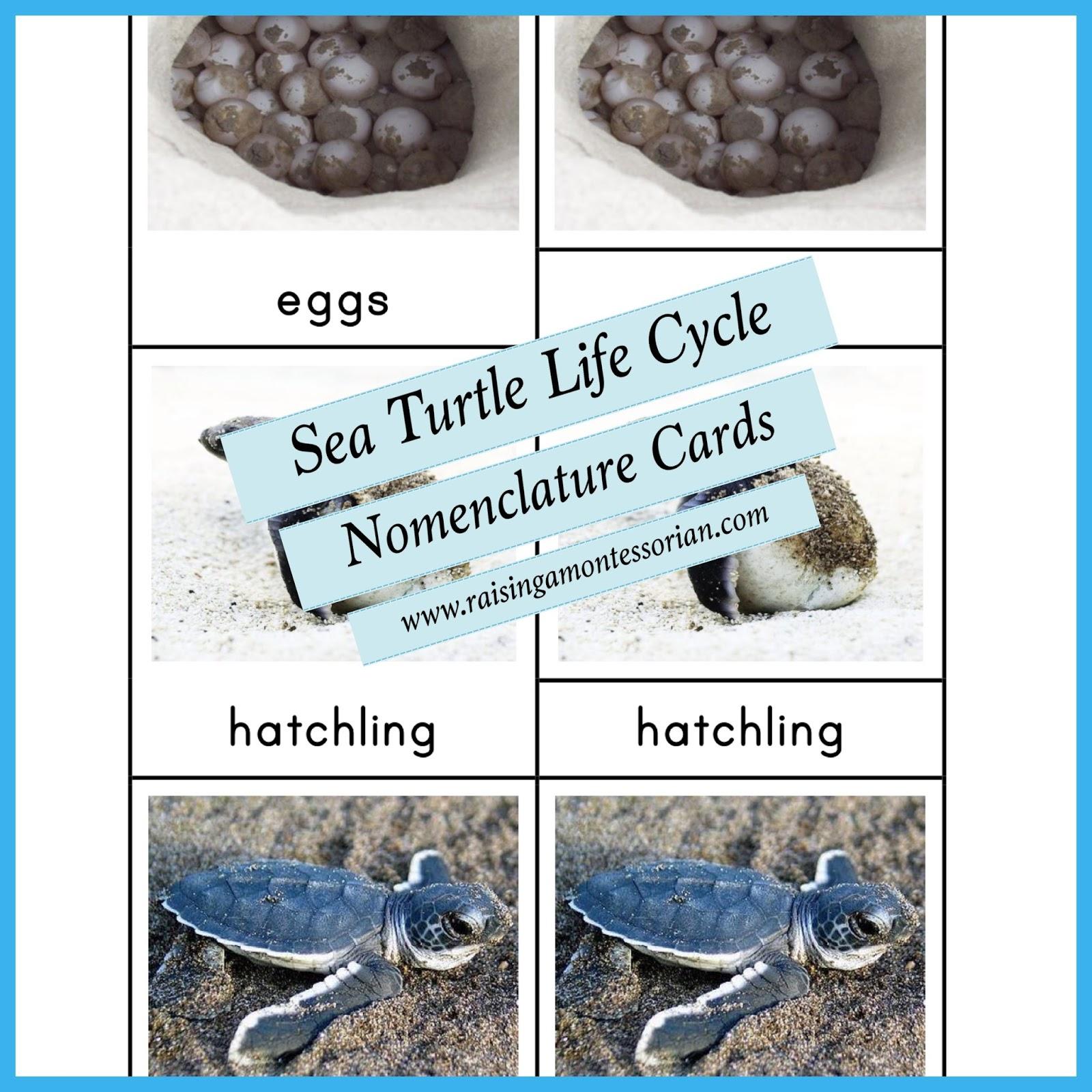 Printables Sea Turtle Life Cycle