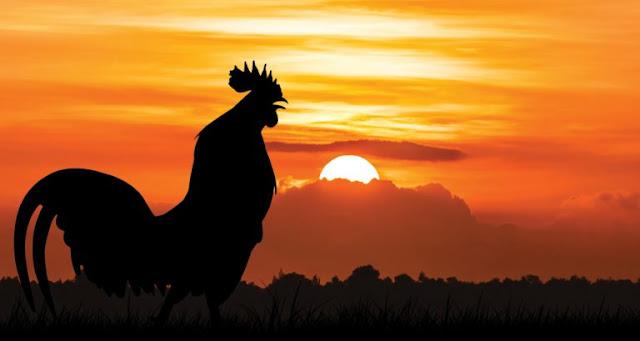 Bila Ayam Berkokok di Tengah Malam, Maka Bangunlah, Ini Kata Rasulullah