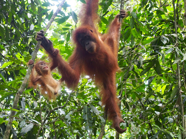 Mom and baby orangutan hang from trees in Sumatra, Indonesia