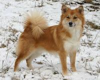 Iceland dog