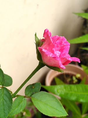 """""""Pink rose @ simplymarrimye.com"""""""