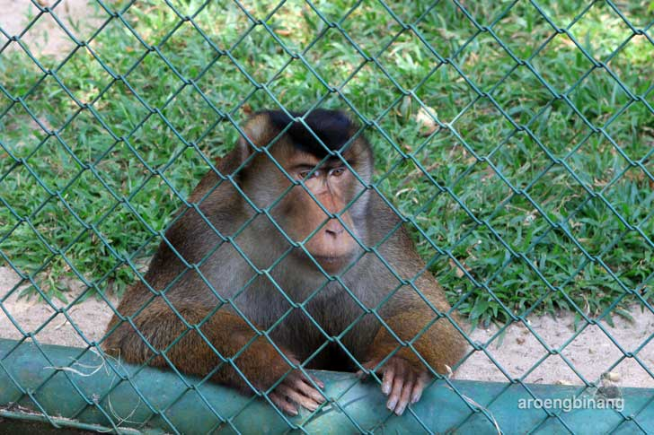 beruk pusat primata schmutzer kebun binatang ragunan