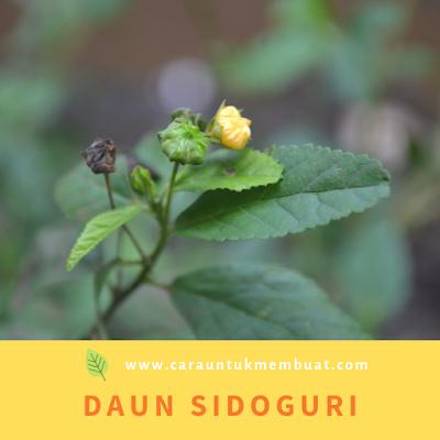 Daun Sidoguri