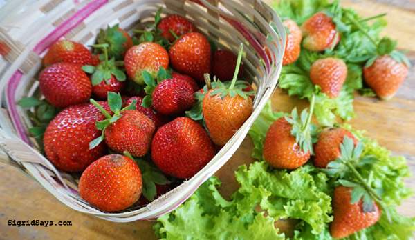 Baguio City - DIY family trip - strawberry picking