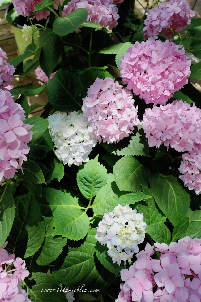 Pink Hydrangeas in Containers on Shady Deck have blue buds also