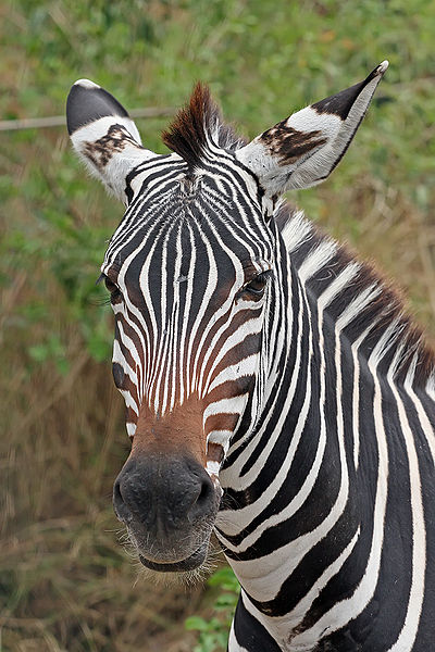 Mammals Animals: Zebra portrait