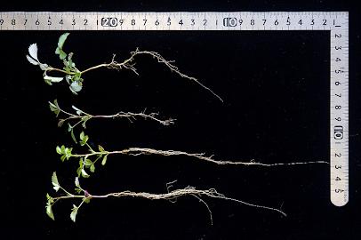 タネ播きから約80日後のバラの幼苗