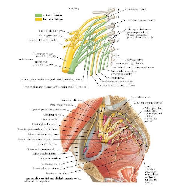Sacral and Coccygeal Plexuses Anatomy