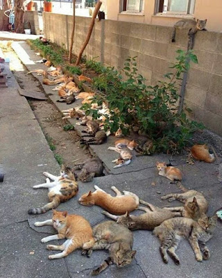 Many cats lying on the ground beside a row of catnip plants.