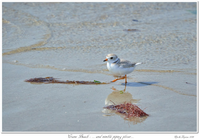 Crane Beach: ... and nimble Piping Plover...