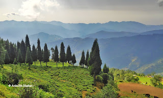 guranse tea