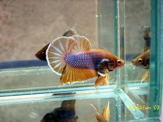 warna-warni: 7 Ikan Cupang tercantik di Dunia
