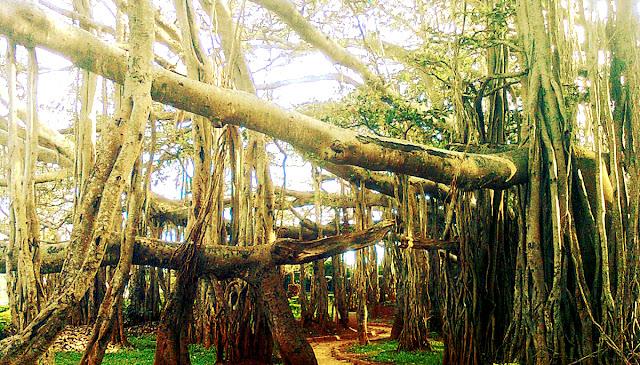 Ramtek tree, Maharashtra