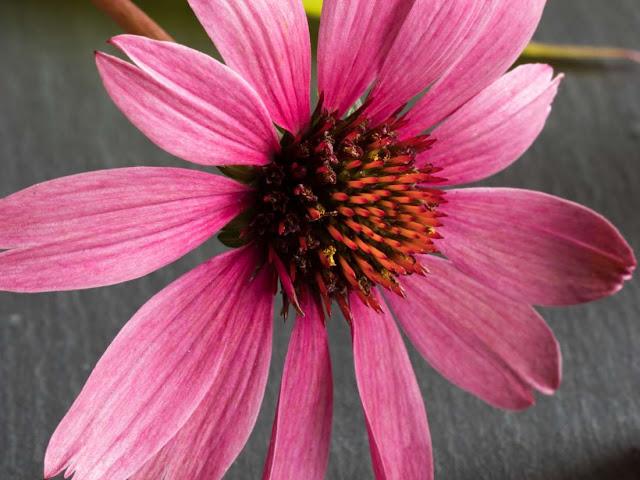 Ehinacea - Prednosti, upotreba, neželjeni efekti i doziranje