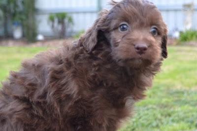 Border Collie Poodle mix (Bordoodle) Temperament, Size, Adoption, Lifespan