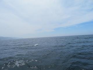 知床クルーズで見たイルカ