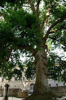 Il Faggio piangente di Bayeaux classificato Albero Notevole di Francia