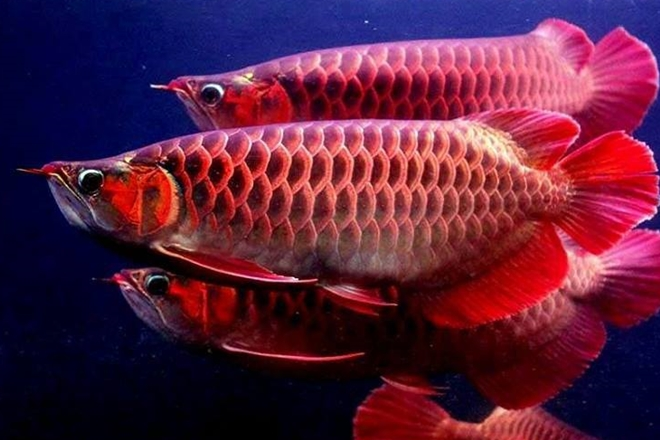 Ikan Arwana Merah, Kisah Antara Santri dan Kyai Ini Membuat Kita Tertegun