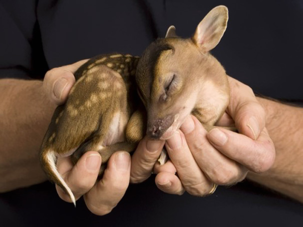Baby Animals: Baby Deer