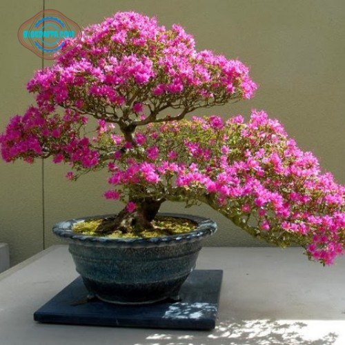Bonsai Bougainville