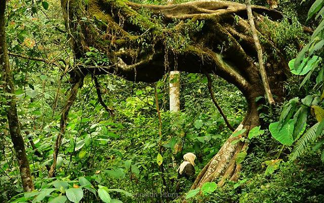 Bongkahan akar menonjol di jalan setapak