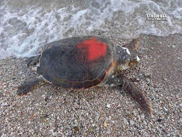 Σε παραλία του Ναυπλίου ακόμα μια νεκρή θαλάσσια χελώνα