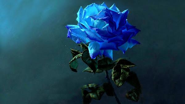 wallpaper bunga mawar biru