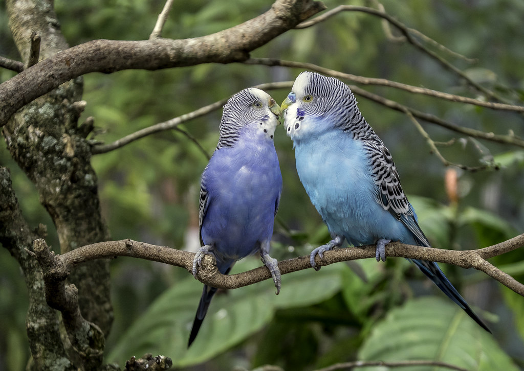 Love Birds For Better Relations