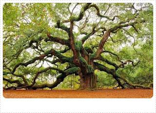 Pohon Besar Angel Oak